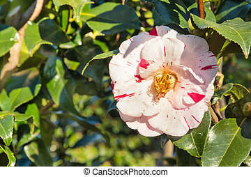 red and white double-flowered hybrid camellia flower in ...