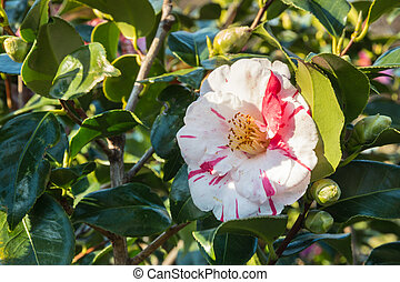 red and white striped double-flowered camellia flower in ...