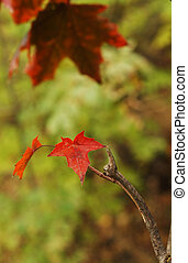 Closeup of red canadian maple leaves