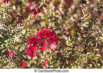 red manuka tree flowers in bloom