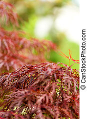closeup of red maple
