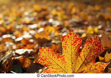 closeup of red maple leaf with blurred background