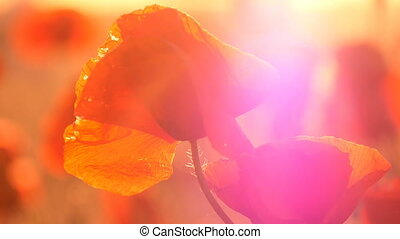 Closeup of red poppies under the rays of a shining sunrise...