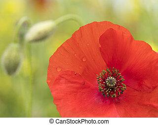 closeup of red poppy flower in green summer field
