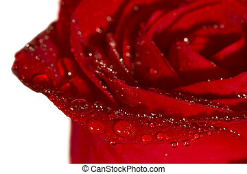 Closeup of red rose with drops