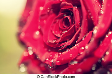 closeup of red rose