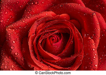 Closeup of red rose with water drops