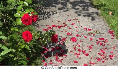 Closeup of red roses bushes and fallen petals on the ground stone path in garden yard. 4K