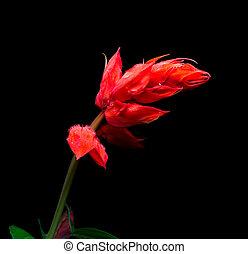 Closeup of red salvia splendens flower on black background.