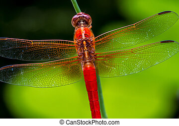 Closeup of Red Skimmer Dragonfly
