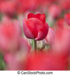 closeup of red tulip in dutch flower field amongst other tulips