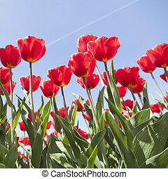 red tulips and blue sky on dutch tulip flower landscape in holland