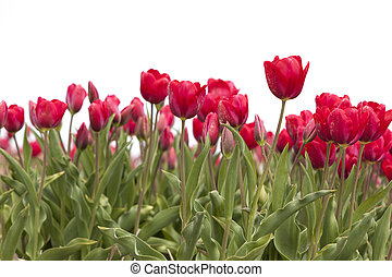 closeup of red tulips in dutch flower field