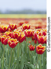 closeup of red tulips with yellow brim in dutch flower field