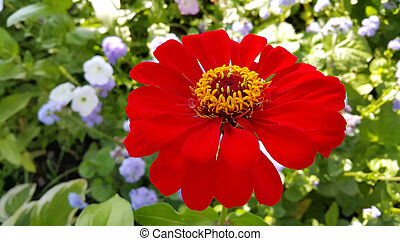 Closeup of red Zinnia flower
