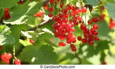 Closeup of redcurrant berries