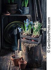Closeup of repotting a blue hyacinth on old stump