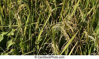 closeup of rice on plantation
