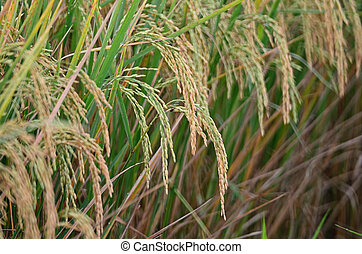 rice paddy - Closeup of rice paddy in plantation
