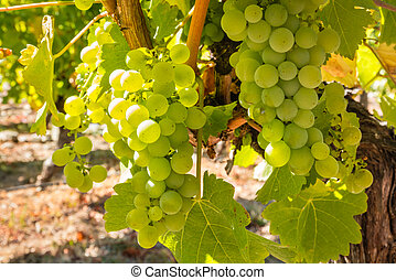 closeup of ripe bunches of Pinot Gris grape hanging on vine in vineyard at harvest time