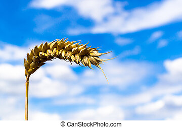 Closeup of Ripe Golden Grain