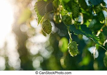 Closeup of ripe hop cones in the field