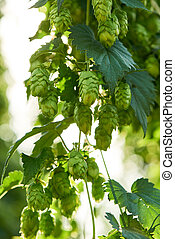 Closeup of ripe hop cones in the field