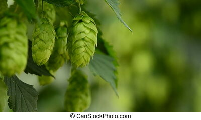 Closeup of ripe hop cones on the field, locked down real...