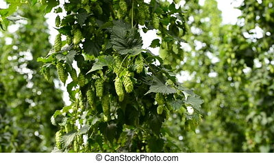 Closeup of ripe hop cones on the field - Branch of ripe hop...