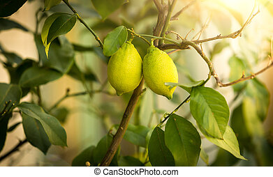 Closeup of ripe lemons growing on tree at sunny day