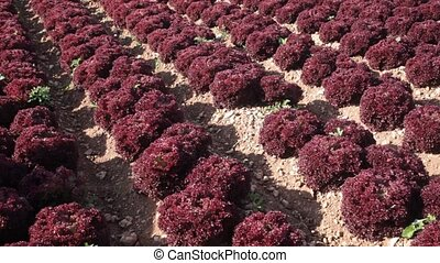 View of field planted with ripening red leaf lettuces. Popular leafy vegetable crop