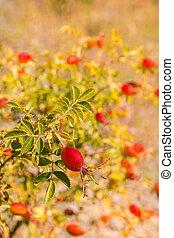 ripe rose hip berries growing on rose hip bush