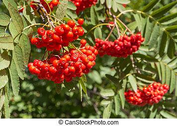 ripe rowanberry fruit on rowan tree - closeup of ripe ...