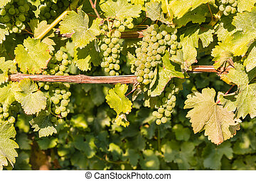 ripe Sauvignon Blanc grapes growing in organic vineyard -...