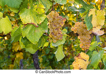 ripe Sauvignon Blanc grapes on vine - closeup of ripe...