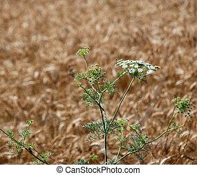 Closeup of ripe wheat in summer