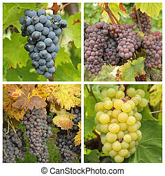 closeup of ripe wine bunch grapes in vineyard - collage