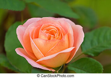Closeup of rose in pale peach coral salmon colors blossoming...