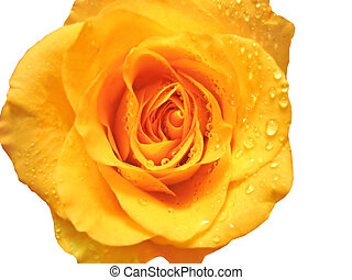 closeup of rose with water drops