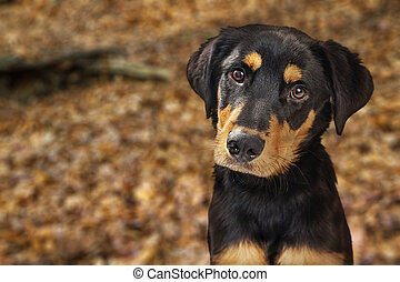 Closeup of Rotweiller Puppy in Autumn Leaves