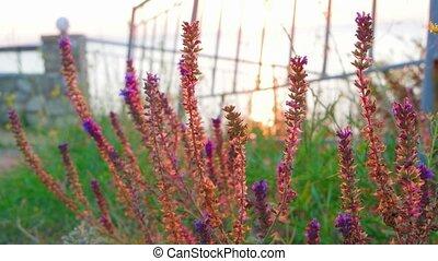 Closeup of sage flowers (Salvia) in wild Crimean peninsula...