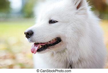 Closeup of samoyed dog in autumn park