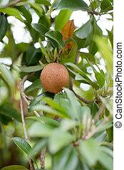 Closeup of sapodilla fruit on tree