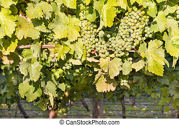 Sauvignon Blanc grapes on vine in vineyard at harvest time -...