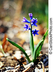 Closeup of Scilla hyacinthoides in the spring forest