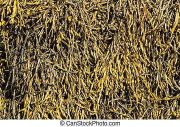 Closeup of seaweed Ascophyllum nodosum, commonly egg wrack.