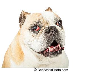 Closeup Of Senior Bulldog