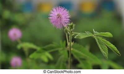 Closeup of sensitive plant blossoms gently blowing in the wind. Mimosa pudica, sleepy plant or touch me not.