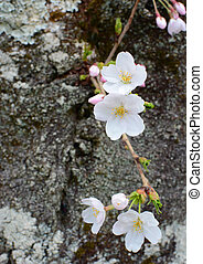 Closeup of several white flower blossoms on the trunk of a cherry tree