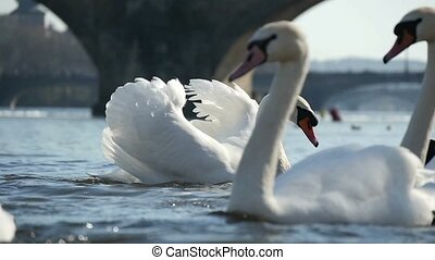 Closeup of several white swans on the Vltava river in a sunny day in slow motion